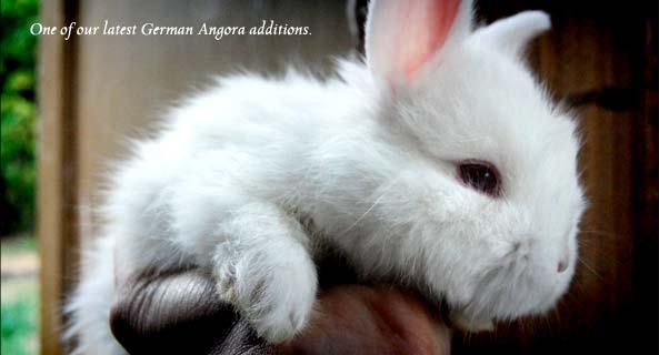 German Angora Kitten