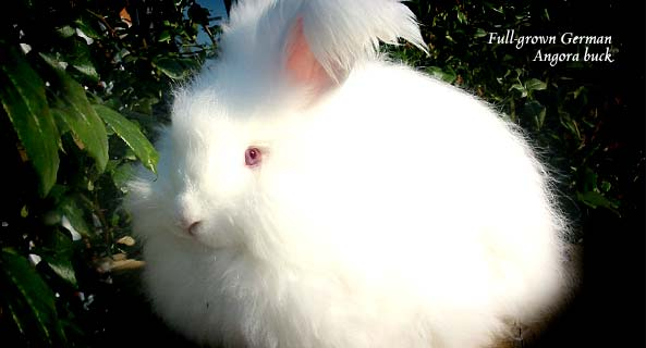 German Angora Buck