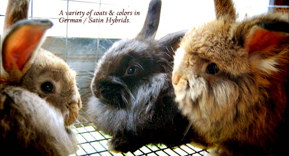 German / Satin Angora Rabbits